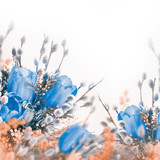 Blue tulips with mimosa, spring background