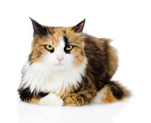 Calico Cat In Front. Isolated ...