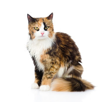 Calico Cat Sitting And Looking At Camera. Isolated On White