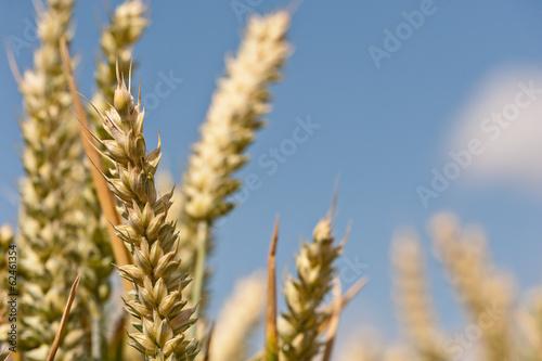 Fotografie, Obraz  Junger Weizen unter blauem Himmel