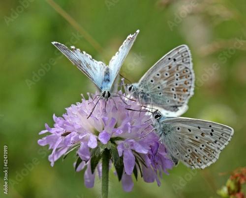 Drei Silbergrüne Bläulinge auf Acker-Witwenblume
