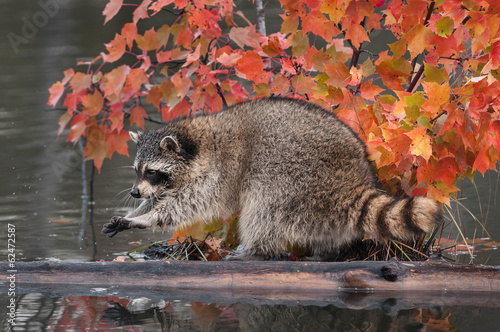 Raccoon (Procyon lotor) Washes Paws Tablou Canvas