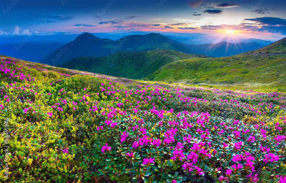 Fototapeta Magic pink rhododendron flowers in the mountains.