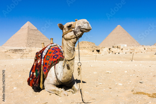 Camel with Pyramids in background