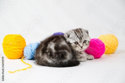 Printed kitchen splashbacks Cat British Shorthair kitten
