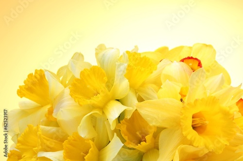 Foto op Canvas Narcis beautiful yellow daffodils on yellow background