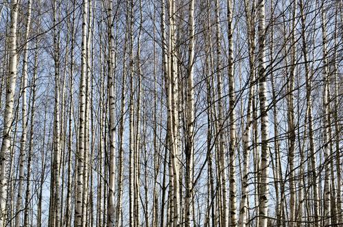 pnie-brzoz-w-wiosennym-lesie