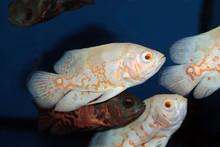 Albino Oscar (Astronotus Ocellatus) Aquarium Fish
