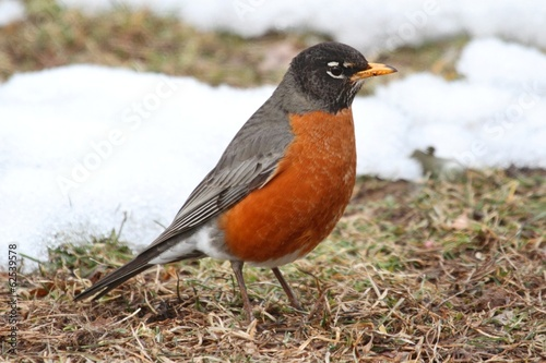 Photo  American Robin (Turdus migratorius)
