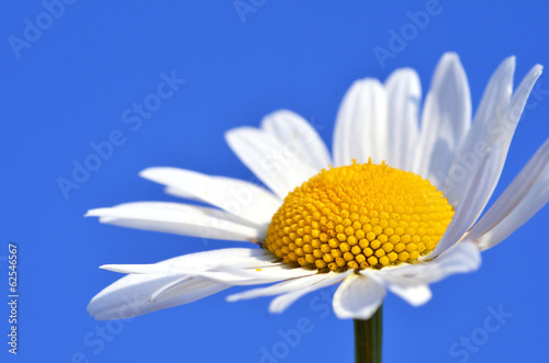 In de dag Madeliefjes Daisy with blue sky :)