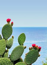 Cactus Fleuri Face à La Mer