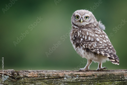 Deurstickers Uil UK Wild Llittle Owl