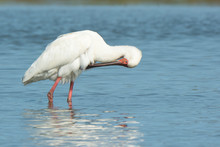 African Spoonbill Preening Its Chest