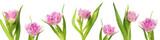 Fototapeta Tulipany - Violet tulip flowers