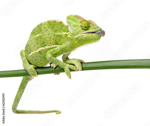 chameleon #62582947