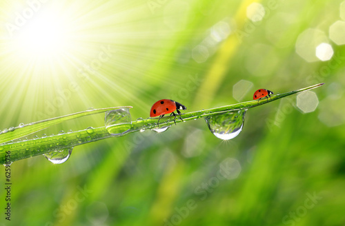 Photo  fresh morning dew and ladybirds