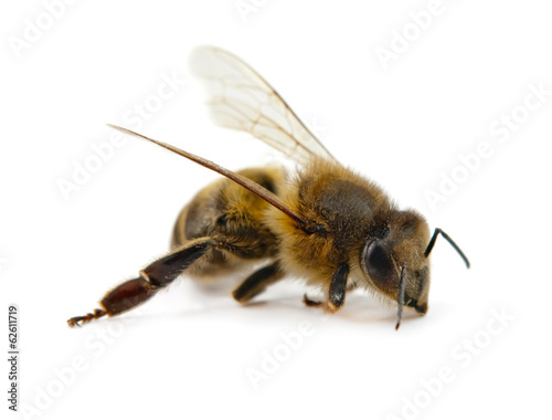 Poster Bee bee isolated