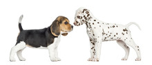 Side View Of Dalmatian And Beagle Puppies Getting To Know