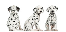 Dalmatian Puppies Sitting Together In Different Positions