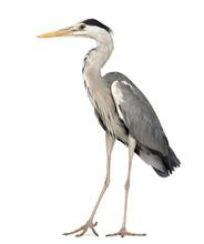 Grey Heron Standing, Ardea Cin...