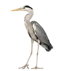 Grey Heron standing, Ardea Cinerea, 5 years old