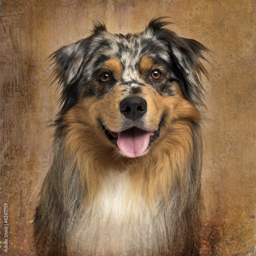 Close-up of an Australian shepherd blue merle, panting