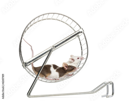 Fotografie, Obraz  Side view of Common house mice playing in a wheel, Mus musculus