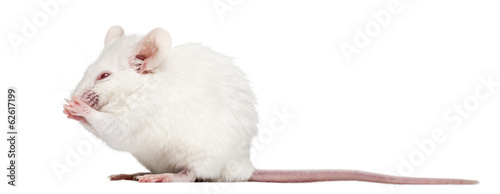 Fototapeta Side view of an albino white mouse having a wash, Mus musculus