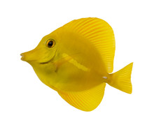 Side View Of A Yellow Tang, Ze...