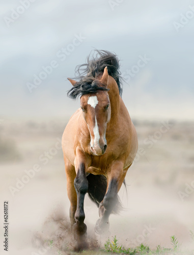 Fototapeta bay stallion in dust obraz