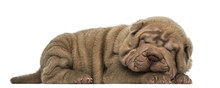 Side View Of A Shar Pei Puppy ...