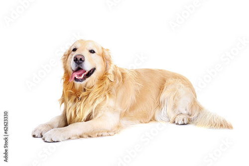golden retriever laying on white background Tableau sur Toile