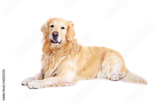 Fotografie, Obraz golden retriever on the floor