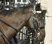 Horse At The Horse Guard Parade.