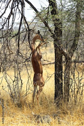 Fototapety, obrazy: Gerenuk