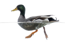 Side View Of A Mallard Floating On The Water, Anas Platyrhynchos