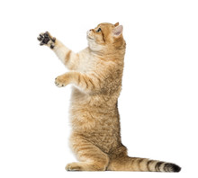 Side View Of A British Shorthair On Hind Legs, Pawing Up