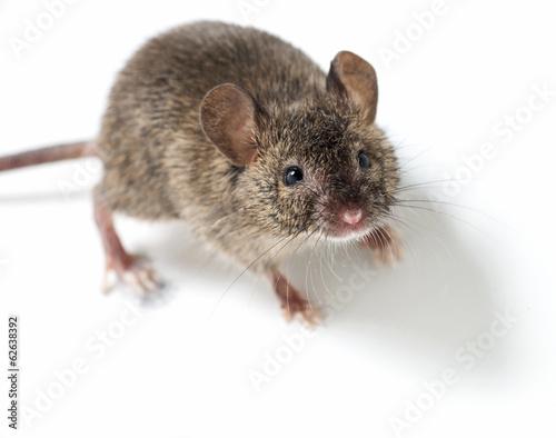 Fotografie, Obraz  kleine Maus