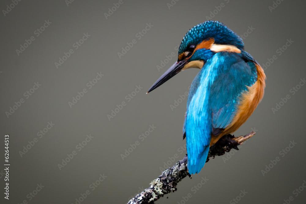 Fototapeta UK Wild Kingfisher