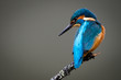 canvas print picture - UK Wild Kingfisher