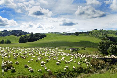 Neuseland´s Schafe