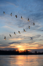 Geese Flying In V Formation