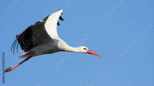 Weißstorch fliegend (Ciconia ciconia)