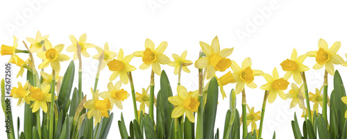 Deurstickers Narcis Yellow Flowers on white background close up. Daffodil flower or