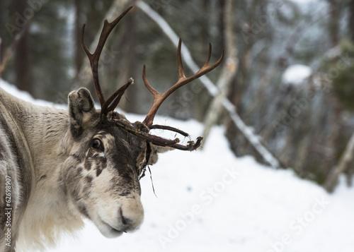Reindeer standing in the snow Fototapet
