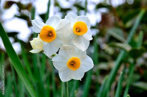 Papiers peints Narcisse 水仙