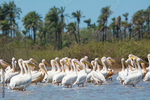 Fényképezés  Group of Great White Pelicans standing in water