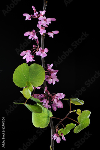 Fotografie, Obraz  Redbud branch with leaves in spring season