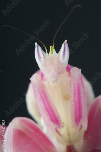 Photo  Orchid mantis / Hymenopus coronatus
