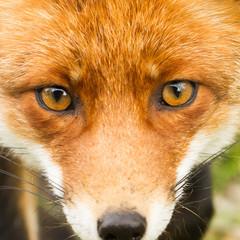 Fototapeta red fox close up